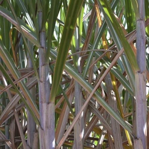 Plantio de cana-de-açúcar